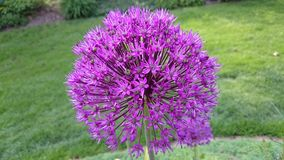 Aflatunense do Allium fotografia de stock