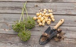 Aflatunense do Allium dos bulbos em um fundo de madeira Imagem de Stock