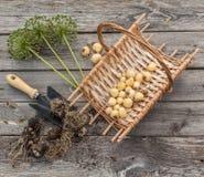 Aflatunense do Allium dos bulbos em uma cesta em um fundo de madeira Imagens de Stock Royalty Free