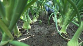 Aflojando la tierra en jardín con una cebolla almacene el vídeo de la cantidad metrajes