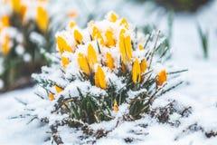 A?afr?es amarelos cobertos com a neve na mola  ?no blizzard de s fotos de stock