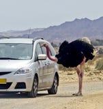 Afracan ostrich in Israeli savanna Stock Image
