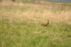 Afraid hare running across the meadow Royalty Free Stock Photography