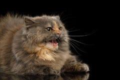 Short Munchkin Cat on Isolated Black background stock photo