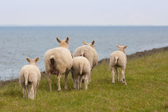 Afraid sheep. Walking away from the photographer stock image