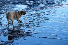 Afraid of water. Reluctant bulldog pulling leash and standing on wet cobblestones Stock Photos