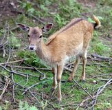 Afraid young deer in solitary Royalty Free Stock Photography