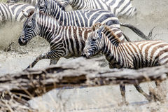 Afraid zebras running in the water Stock Images