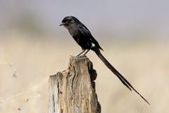 Afrcian long-tailed shike or Magpie shrike, Urolestes melanoleuc Royalty Free Stock Photo