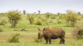 Afrcian white rhinoceros standing in savannah,  in Kruger park Royalty Free Stock Image