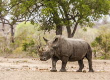 Afrcian white rhinoceros standing in savannah,  in Kruger park Stock Photo