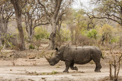 Afrcian white rhinoceros standing in savannah,  in Kruger park Stock Photos