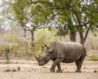 Afrcian white rhinoceros standing in savannah,  in Kruger park Royalty Free Stock Images