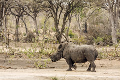 Afrcian white rhinoceros standing in savannah,  in Kruger park Royalty Free Stock Photo