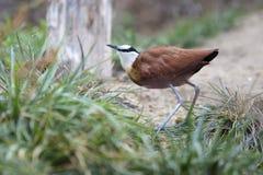 Afrian Jacana fågelanseende på en bana i gräs- område Arkivfoto