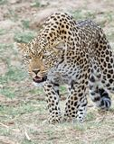 Afrian leopard looking alert as if to pounce in Suth Luangwa, Zambia. Leopard on the prowl in south luangwa, zambia stock images