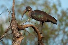 africa östlig hadada ibis kenya Royaltyfri Bild