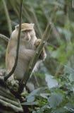 africa światła małpy samango południe Obraz Stock