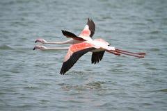 Africa. Flamingos flying, Walvis Bay, Namibia Africa Royalty Free Stock Images