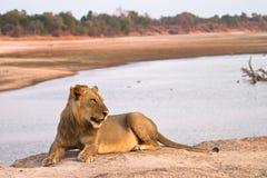 Africa. Lion on river bank, Safari South Luangwa, Zambia Africa stock photo