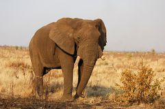 Africa. A very old African Elephant bull with its tusks broken of due to becoming brittle as a result of old age Royalty Free Stock Images