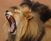 Africa. A male lion showing its powerful jaws Royalty Free Stock Images