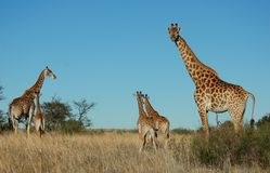 Africa. A family of giraffes in the South African Savannah Stock Images