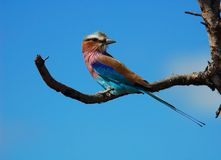 Africa. Lilacbreasted Roller in the Kruger Park, South Africa stock image
