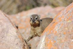 Africa. Cape Hyrax, or Rock Hyrax, (Procavia capensis) also known as the Dassie, wild in the Waterberg region, South Africa Royalty Free Stock Photo