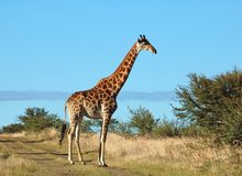Africa. Female Giraffe in the bushveld of South Africa Royalty Free Stock Photography