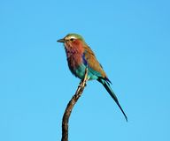 Africa. Lilacbreasted Roller (Coracias Caudata) in the Kruger National Park, South Africa stock image