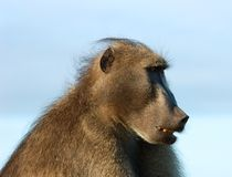 Africa. A chacma baboon (Papio ursinus) showing his profile early in the morning in South Africa Royalty Free Stock Photography