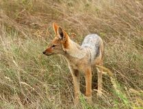 Africa. A wild blackbacked jackal (Canis mesomelas)photographed in the Kruger Park, South Africa Stock Image