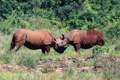 Africa. Fighting rhinos Royalty Free Stock Images