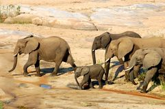 Africa. N Elephants drinking at a river in South stock image
