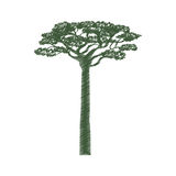 Africa acacia tree Royalty Free Stock Images