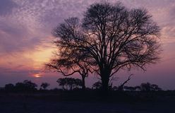 Africa-Acacia tree silhouette. Acacia tree silhouette in Africa dawn Royalty Free Stock Photo