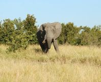 Africa: African Elephant Royalty Free Stock Images