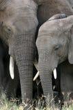 africa afrikansk elefant tanzania royaltyfri bild