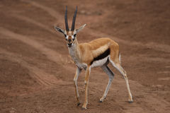 Africa antelope in savana Royalty Free Stock Photos