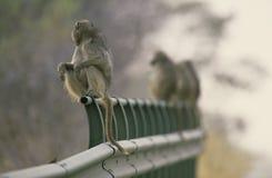 africa baboons bridge radsöder Royaltyfria Bilder