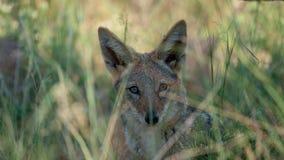 africa bak den svarta jackalen fotografering för bildbyråer