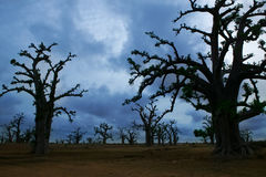 Africa Baobab trees in a cloudy day Stock Photo