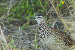 Africa, beak, bird, black, brown, bush, crested, crested francolin, dirt, eye, feathers, fluffy, francolin, ground, natural, natur Stock Image