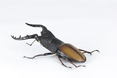 Africa beetle Royalty Free Stock Photo