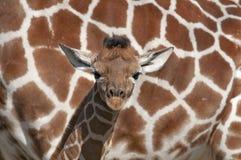 africa behandla som ett barn giraffet Fotografering för Bildbyråer