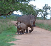 Africa Big Five: White Rhinoceros. A White Rhinoceros (Ceratotherium simum) female with a young calf Stock Images