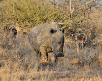 Africa Big Five: White Rhinoceros Royalty Free Stock Photography
