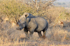 Africa Big Five: White Rhinoceros Stock Image