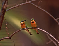 Africa bird-Little bee-eaters. A pair of little bee-eaters in Botswana (merops pusillus Royalty Free Stock Image